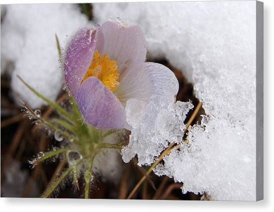 Snowy Pasqueflower Canvas Print