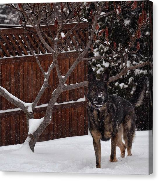 Snowy Shepherd Canvas Print