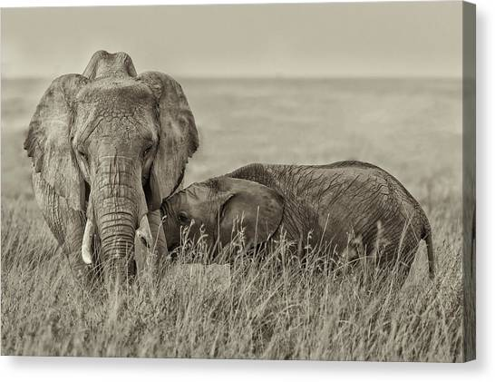 Sepia Canvas Print - Snuggling by Henry Zhao