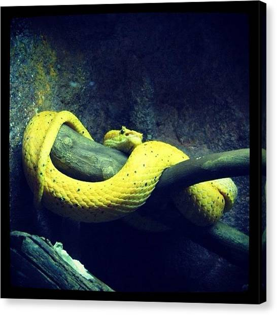 Vipers Canvas Print - So Beautiful 💛🐍 by Eunice De Moraes