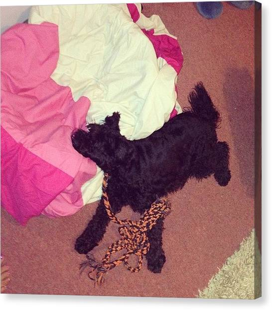 Schnauzers Canvas Print - So I Come Home To Find Ozzie Like by Laurena Pascoe