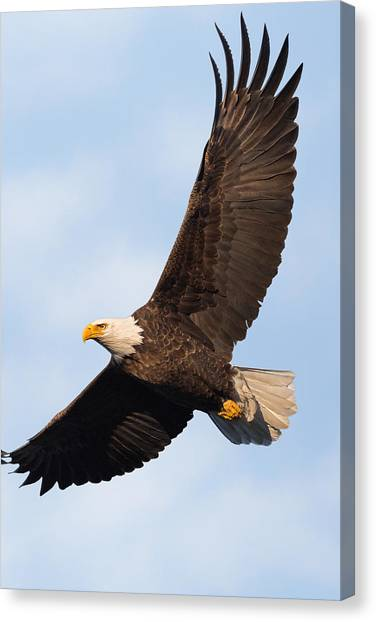 Eagle In Flight Canvas Print - Soaring American Bald Eagle by Bill Wakeley