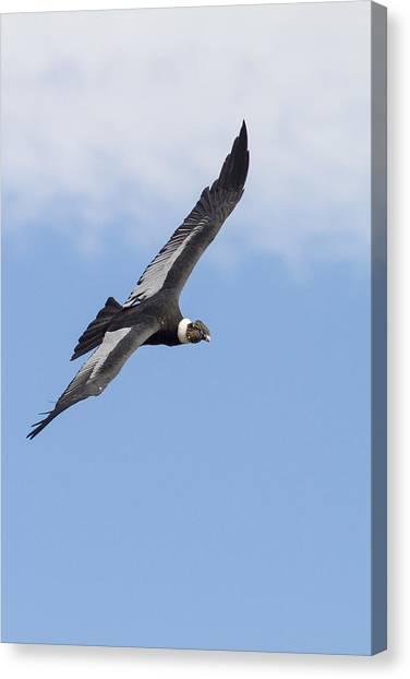 Condors Canvas Print - Soaring Condor by Tim Grams