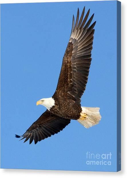 Soaring Eagle Canvas Print