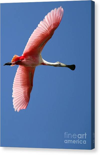 Soaring High Roseate Spoonbill Canvas Print