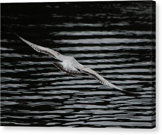 Soaring Seagull Canvas Print