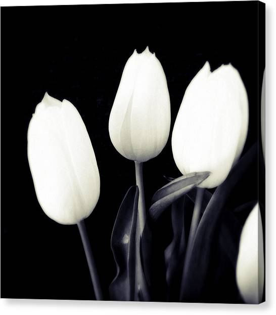 White Canvas Print - Soft And Bright White Tulips Black Background by Matthias Hauser