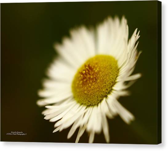 Soft Lighted Daisy Canvas Print by Alexandra  Rampolla