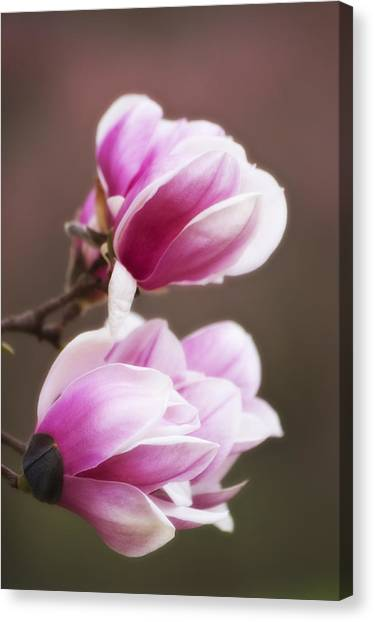Soft Magnolia Blossoms Canvas Print