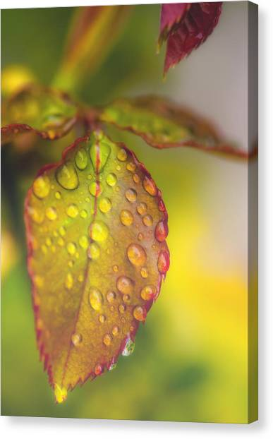 Soft Morning Rain Canvas Print