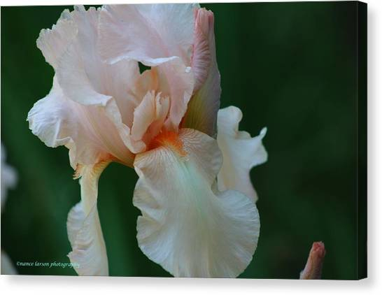 Soft Peach Iris Canvas Print