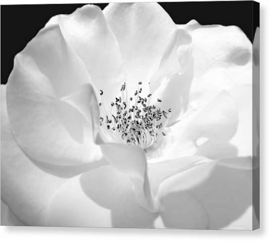 Soft Petal Rose In Black And White Canvas Print