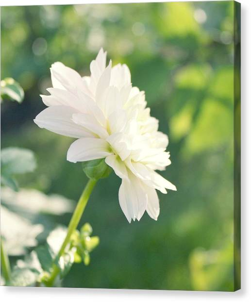 Soft White Dahlias Canvas Print by Cathie Tyler