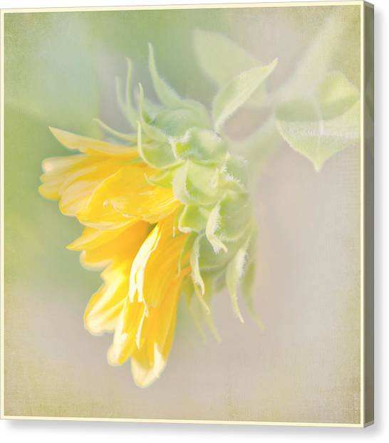 Soft Yellow Sunflower Just Starting To Bloom Canvas Print