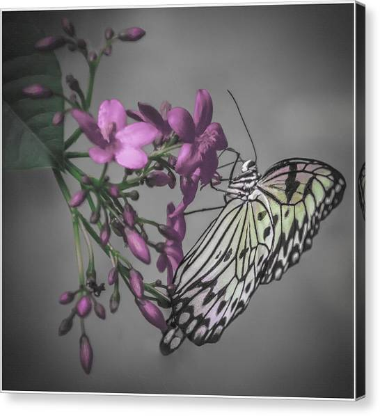 Softly Reflected On A Wing Canvas Print by Jill Balsam