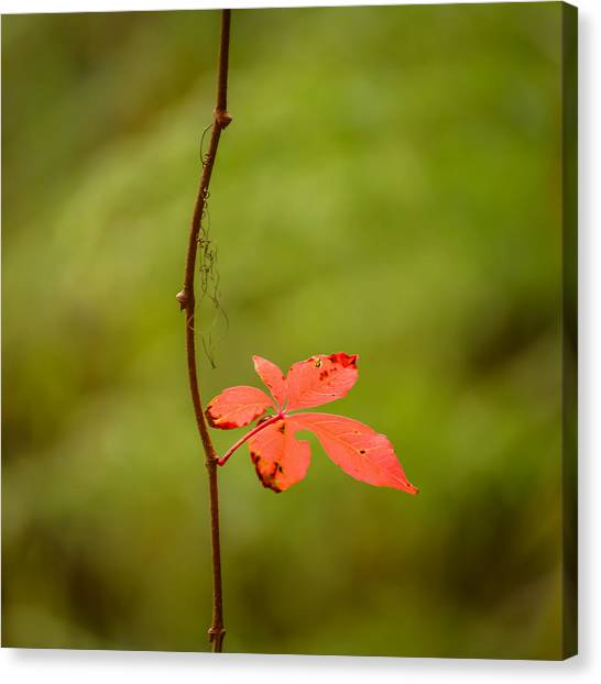 Solitary Red Leaf Canvas Print
