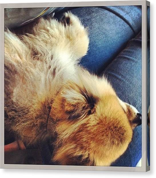 Pom-pom Canvas Print - Someone Isn't A Lap Dog Or Anything! by Lauren E