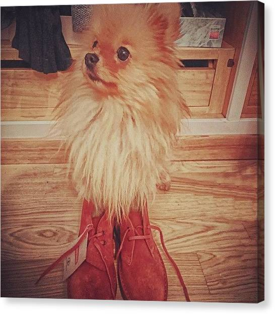 Pomeranians Canvas Print - Someone Lace Up My Brand New Clarks by Stewy Buothz