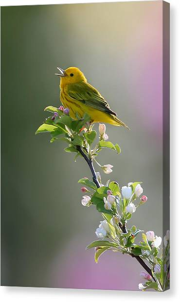 Warblers Canvas Print - Song Of Spring by Rob Blair