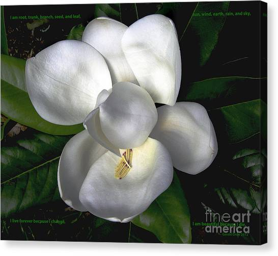 Song Of The Magnolia Canvas Print