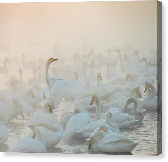 Swan Canvas Print - Song Of The Morning Light by Dmitry Dubikovskiy