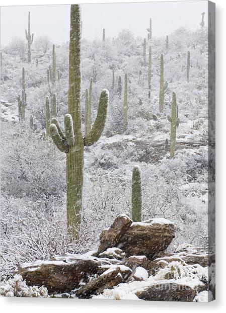 Sonoran Desert Canvas Print - Sonoran Snowfall by Timm Chapman