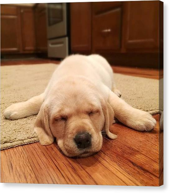 Yellow Lab Canvas Print - Sleepy by Simon Nauert