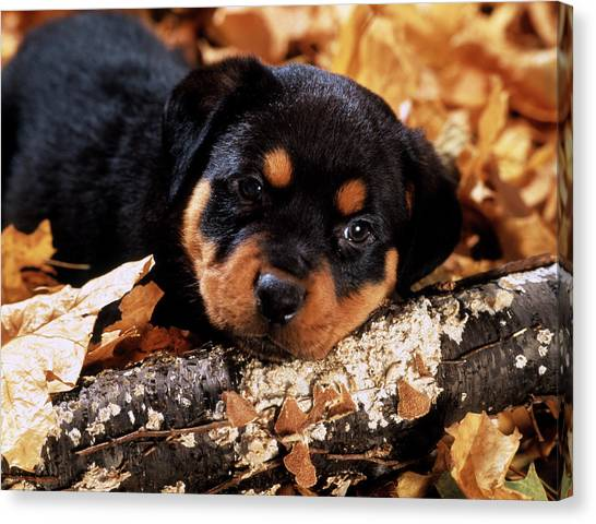Rottweilers Canvas Print - Sorrowful Rottweiler Puppy Lying by Vintage Images