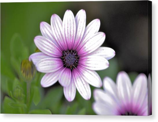 South African Sailor Boy Daisy Canvas Print by Dave Woodbridge