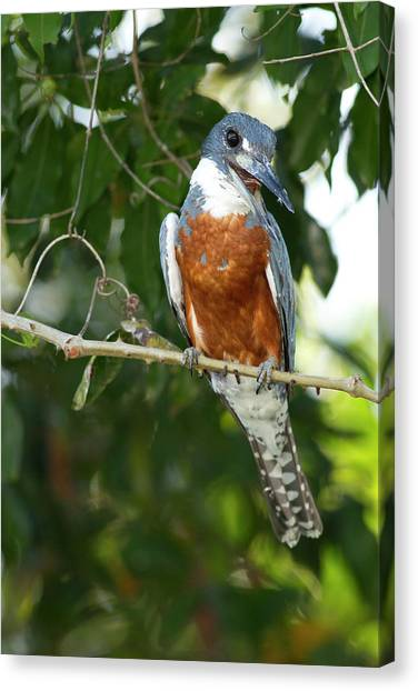 Kingfisher Canvas Print - South America, Brazil, Pantanal, Ringed by Joe and Mary Ann Mcdonald