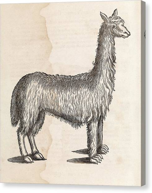 Llamas Canvas Print - South American Camelid by Middle Temple Library