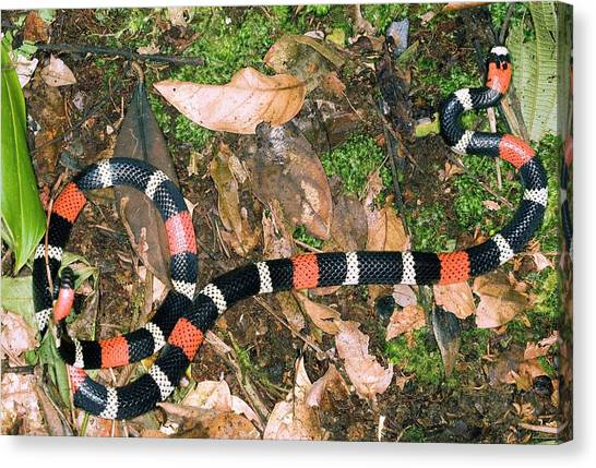 Coral Snakes Canvas Print - South American Coral Snake by Dr Morley Read/science Photo Library