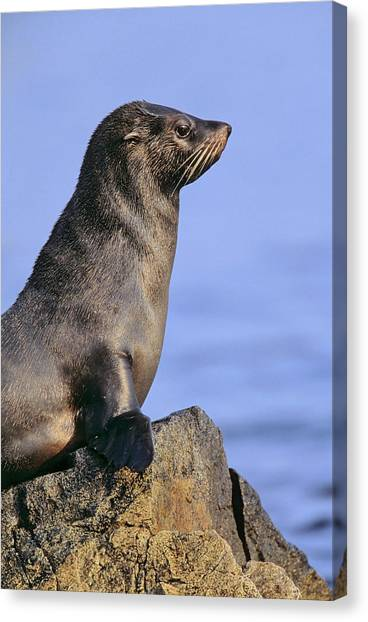 Atacama Desert Canvas Print - South American Fur Seal (arctocephalus by Martin Zwick