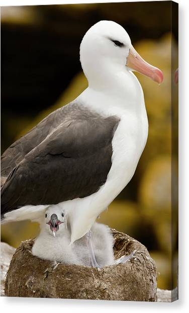 Albatross Canvas Print - South Atlantic, Falkland Islands, New by Jaynes Gallery