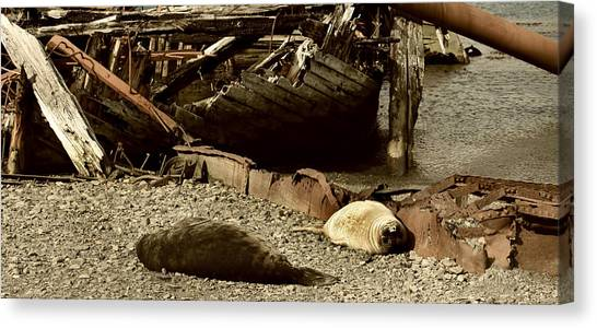 Antarctic Desert Canvas Print - South Atlantic Fur Seals by Amanda Stadther