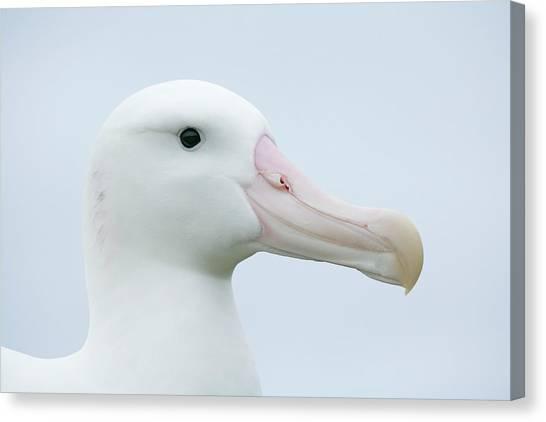 Albatrosses Canvas Print - South Atlantic Ocean, South Georgia by Jaynes Gallery