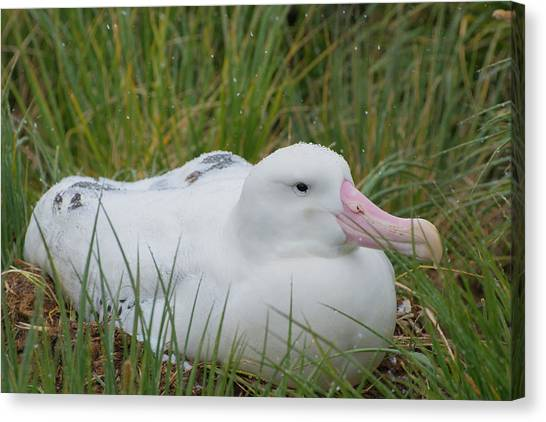 Albatrosses Canvas Print - South Georgia Prion Island Wandering by Inger Hogstrom