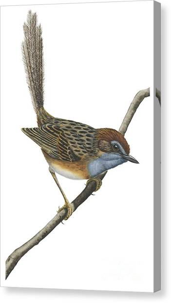 Emus Canvas Print - Southern Emu Wren by Anonymous