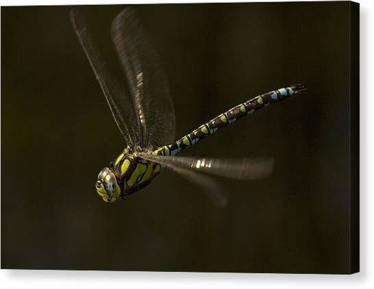 Southern Hawker Dragonfly In Flight Canvas Print