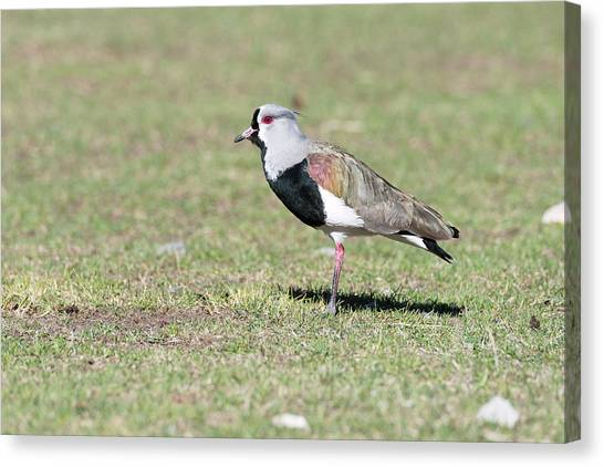 Lapwing Canvas Print - Southern Lapwing by Dr P. Marazzi/science Photo Library