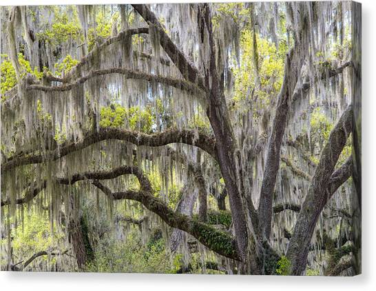 Bromeliad Canvas Print - Southern Live Oak With Spanish Moss by Scott Leslie