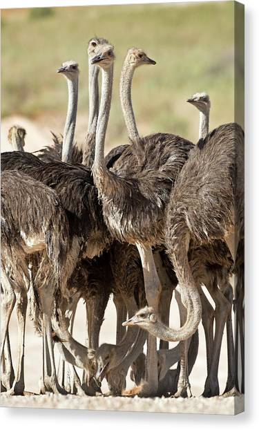 Behaviour Canvas Print - Southern Ostriches Performing Geophagia by Tony Camacho