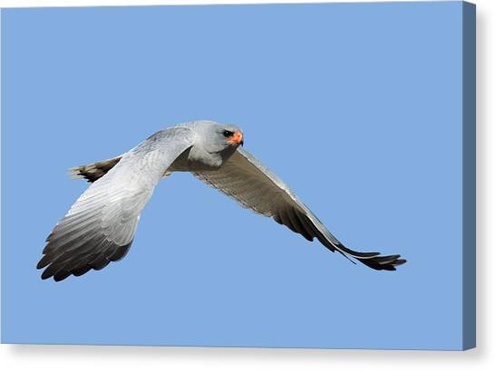 Hawks Canvas Print - Southern Pale Chanting Goshawk In Flight by Johan Swanepoel