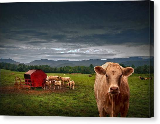 Southern Steer Canvas Print by William Schmid