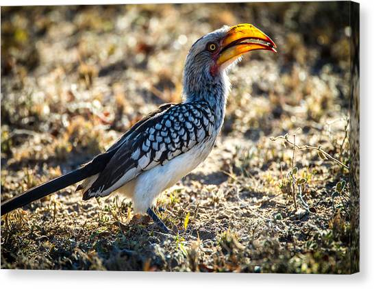 Southern Yellow Billed Hornbill Canvas Print by Craig Brown
