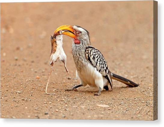 Hornbill Canvas Print - Southern Yellow-billed Hornbill With Prey by Bildagentur-online/mcphoto-schaef