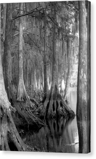 Spanish Moss And Pond Cypress. Shingle Creek. Canvas Print