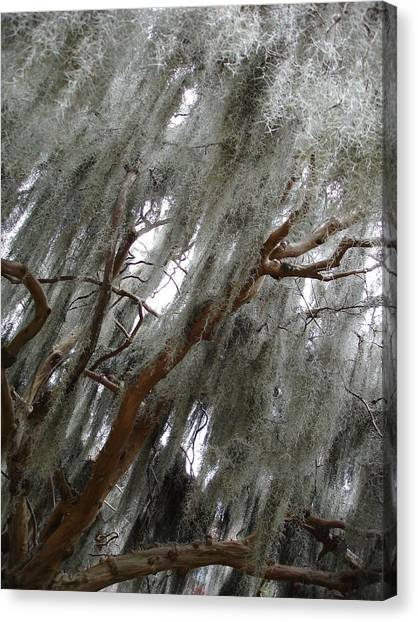 Spanish Moss Canvas Print by Michel Mata