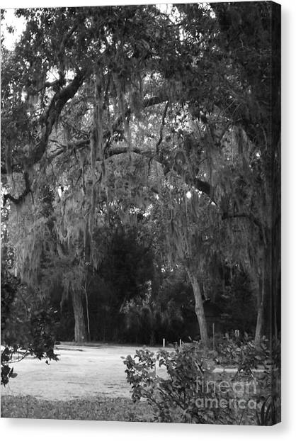 Spanish Moss Of St.augustine Canvas Print