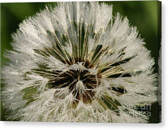 Sparkling Dandelion Canvas Print by Tayt Dame